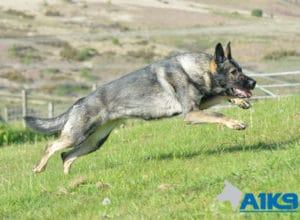A1K9 Family Protection Dog Bina Run 1339