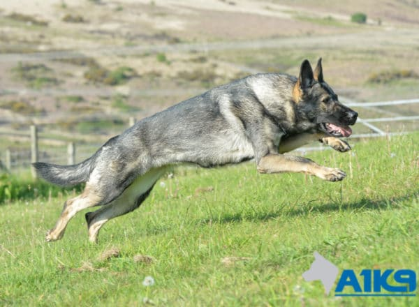 A1K9 Family Protection Dog Bina Run 1339