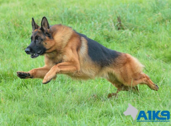 A1K9 Family Protection Dog Cody Run 4943