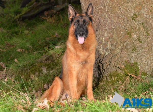 A1K9 Family Protection Dog Cody Sit 4911