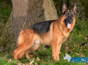 A1K9 Family Protection Dog Cody Stand 4902