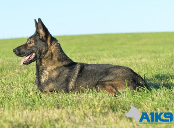 A1K9 Family Protection Dog Demi Down 5887