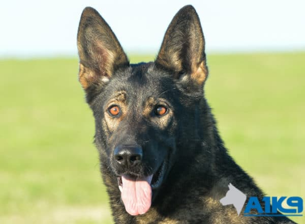 A1K9 Family protection dog Demi.