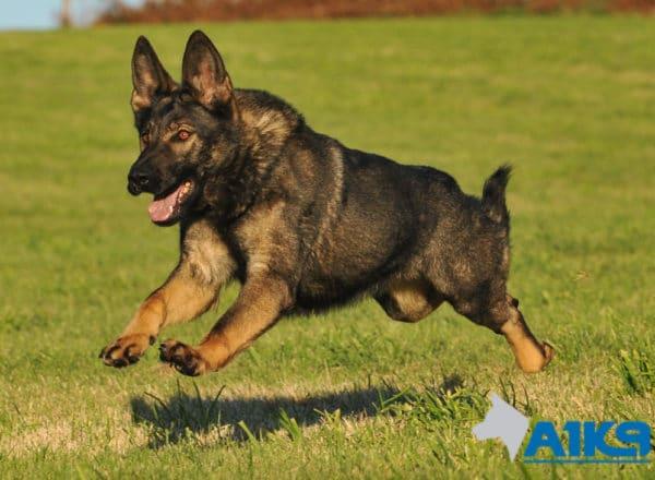 A1K9 Family Protection Dog Demi Run 9476