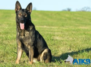 A1K9 Family Protection Dog Demi Sit 5879
