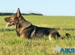 A1K9 Family Protection Dog Engie Down