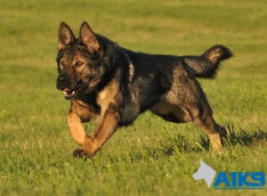 A1K9 Family Protection Dog Engie Run