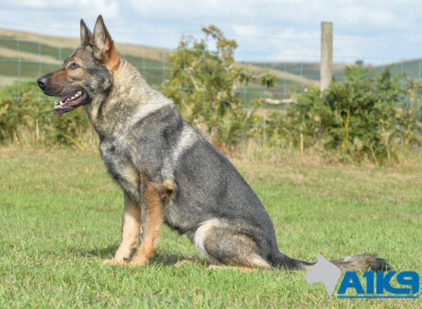 A1K9 Family Protection Dog Engie Sit 2258