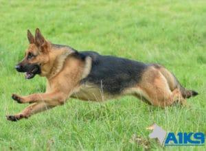 A1K9 Family Protection Dog Honey Run