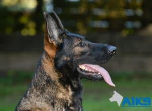 A1K9 Family Protection Dog Tina
