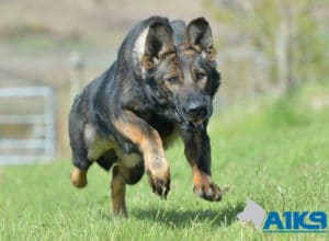 A1K9 Family Protection Dog Tina Run 0992
