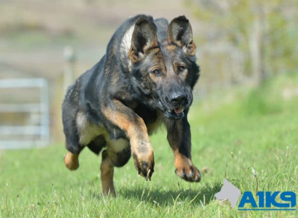 A1K9 Family Protection Dog Tina Run 0992