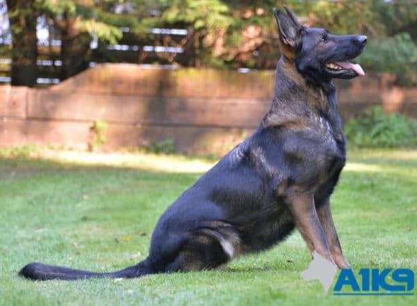 A1K9 Family Protection Dog Tina Sit 5131
