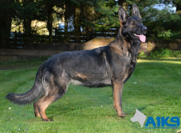 A1K9 Family Protection Dog Tina Sit 5153