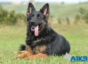 A1K9 Family Protection Dog Zanny Down 2229
