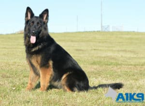 A1K9 Zanny trained protection dog.