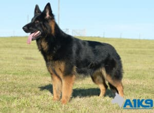 A1K9 Family Protection Dog Zanny Stand 5652