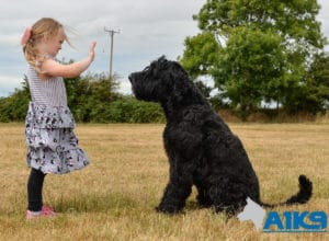 A younger person practicing obedience with A1K9 Giant Schnauzer Bert.