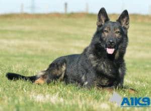 A1K9 Family Protection Dog Down