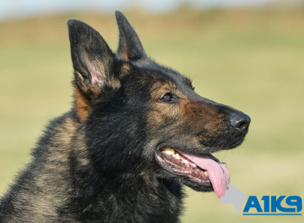 A1K9-Family-Protection-Dog Brandy