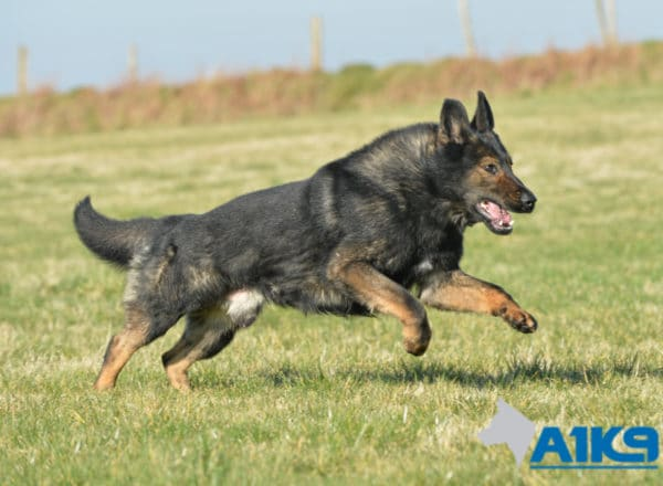 A1K9-Family-Protection-Dog Brandy Free running