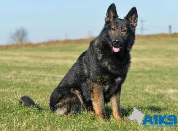A1K9 Family Protection Dog Brandy Sit