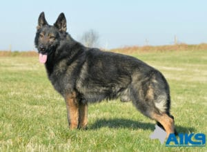 A1K9-Family-Protection-Dog Stand