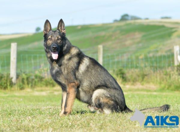 A1K9 Family Protection Dog Karim Sit