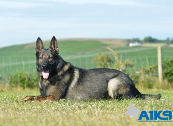 A1K9 Family Protection Dog Karim 8815