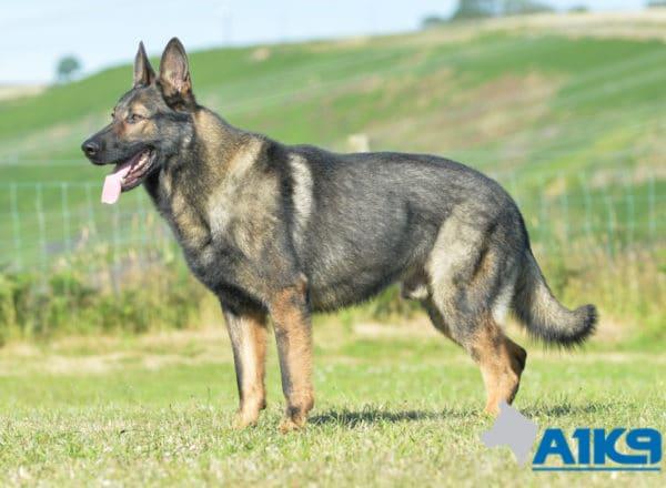 A1K9 Family Protection Dog Karim Standing