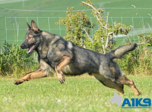 A1K9 Family Protection Dog Karim Free run