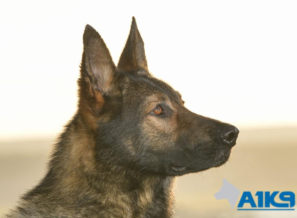 A1K9 Family Protection Dog Karim Head