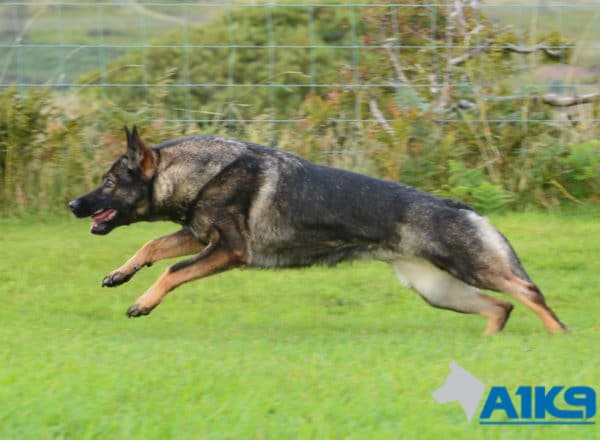 A1K9 Family Protection Dog Boogie Run