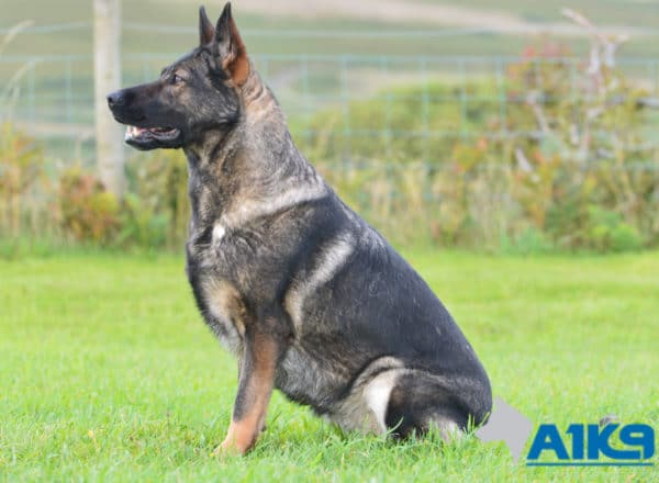 A1K9 Family Protection Dog Boogie Sit