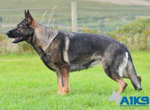 A1K9 Family Protection Dog Boogie Stand