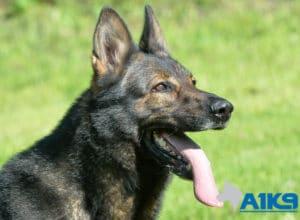 A1K9 Family Protection Dog Car Head