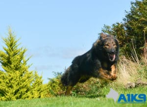 A1K9 Family Protection Dog Hassan Run