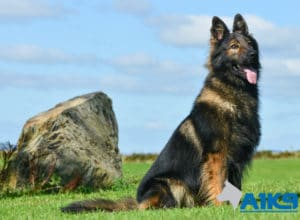 A1K9 Family Protection Dog Hassan Sit