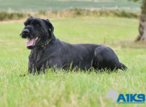 A1K9 Family Protection Dog Ruby Down