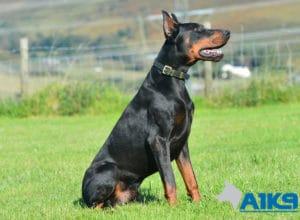 A1K9 Family Protection Dog Blaze Dobermann