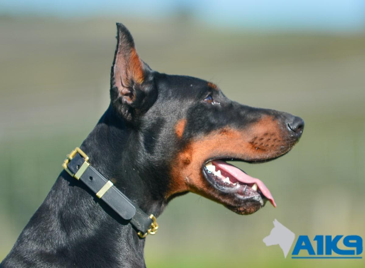 Blaze Family Protection Dog A1k9 174 Family Protection Dogs