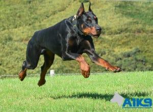 A1K9 Family Protection Dog Blaze Run