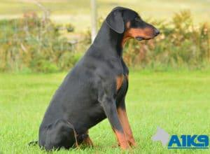 A1K9 Trained Obedient Pet Dobermann Monty Sit