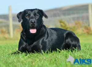 A1K9 Trained Obedient Pet Labrador Mick Down