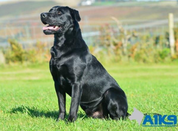 A1K9 Trained Obedient Pet Labrador Mick Sit