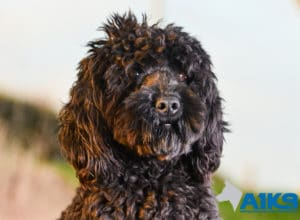 A1K9 Cockapoo Trained Pet Obedient Pet Buster Head