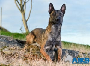 A1K9 Family Protection Dog Angel Down
