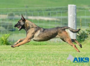 A1K9-Family-Protection-Dog-Angel-Run-5738