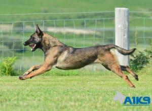 A1K9-Family-Protection-Dog-Angel-Run-5738