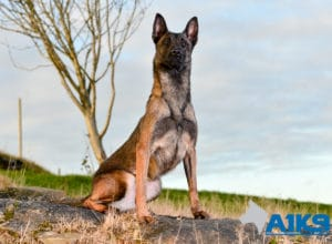 A1K9 Family Protection Dog Angel Sit